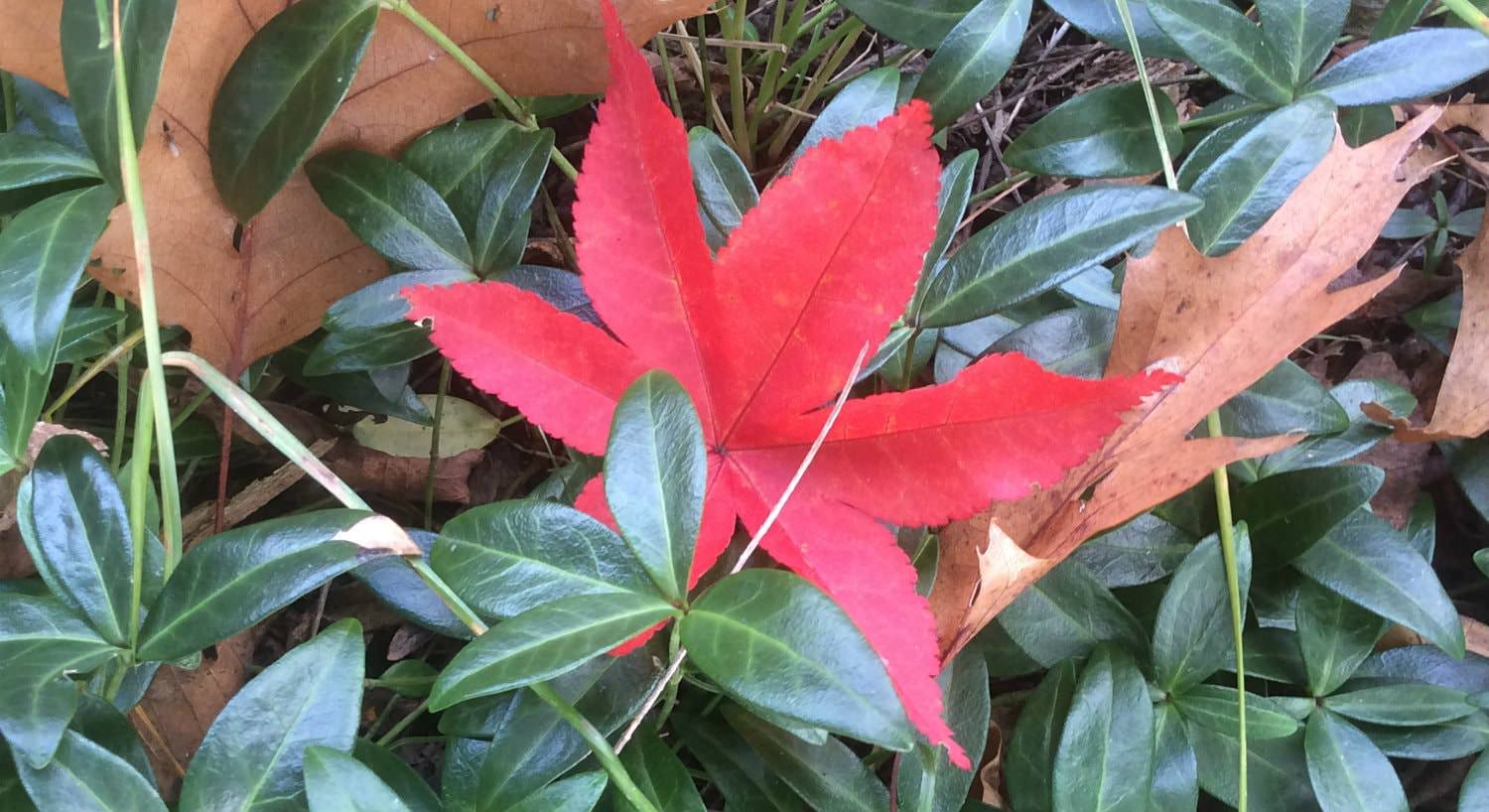 Close up view of green and brown leaves with one vibrant red leaf